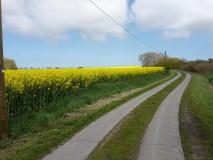 Radweg im Rapsfeld