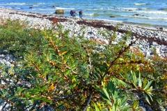 nach Norden Richtung Altenkirchen/Kap Arkona wird der Strand steinig