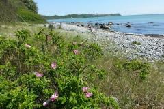 Steinstrand mit Wildrose